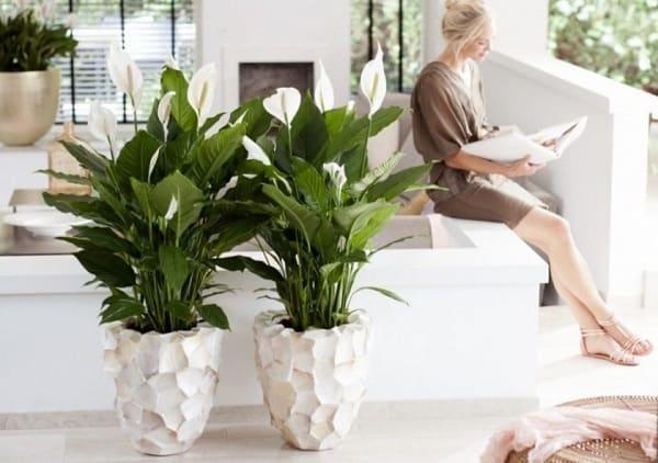 Чем удобрять спатифиллум в домашних условиях