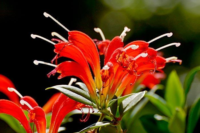 Комнатное растение эсхинантус ампельный: Каролина, прекрасный, Sweetheart