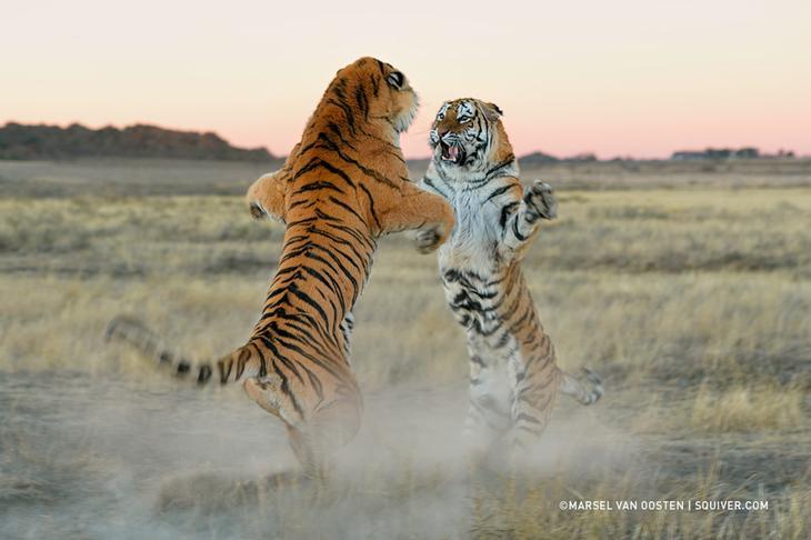 Тигры – дикий животный магнетизм в 30 потрясающих фотографиях 1