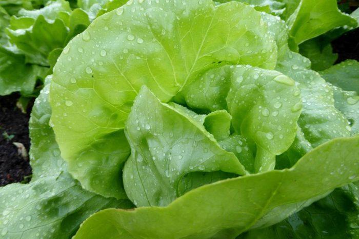Надо ли сейчас поливать капусту. Как часто нужно поливать капусту в открытом грунте и какой водой. Полив капусты в августе