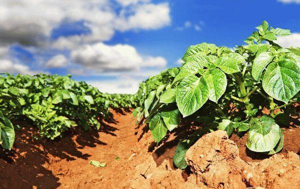 Минеральные удобрения для картофеля - классификация