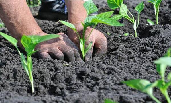 Посадка перца рассадой в открытый грунт