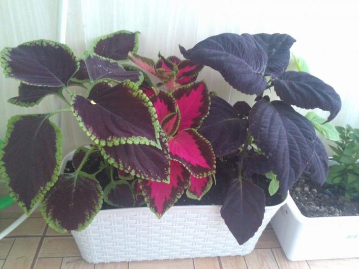 Три сорта растения в одном горшке