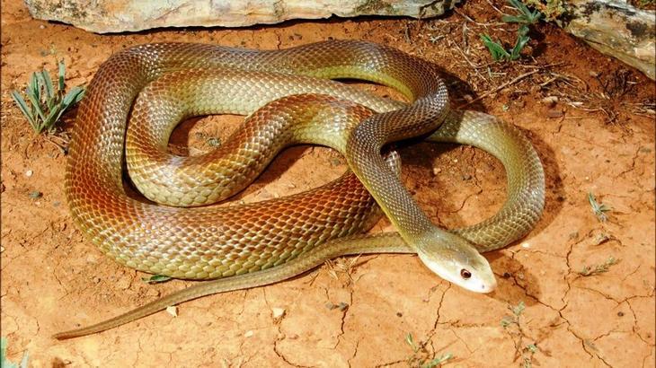 самые опасные змеи - 3