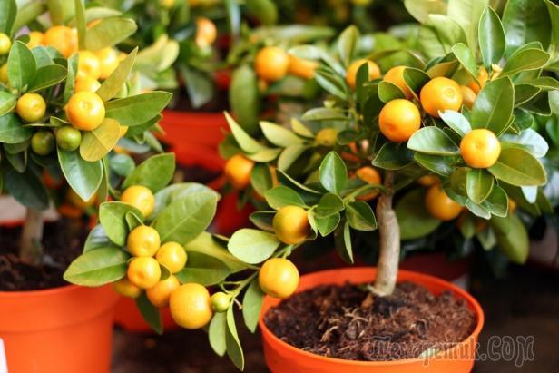 Комнатные фруктовые деревья