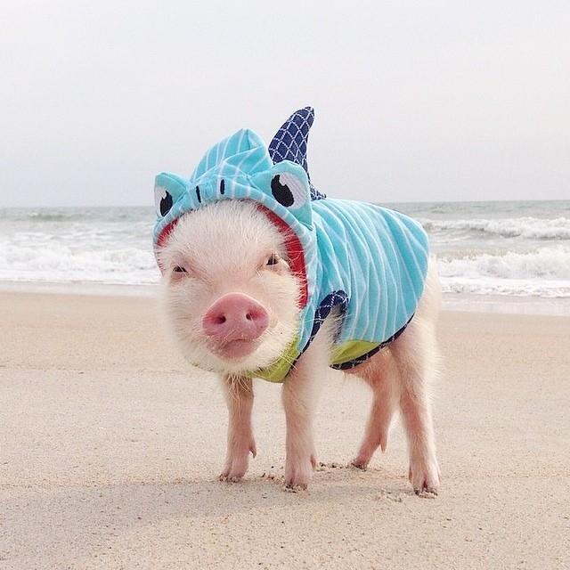 Картинка свинья в купальнике