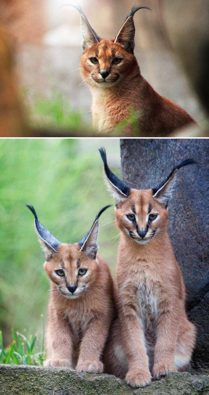 Каракал. Красота созданная природой. Самые красивые животные планеты. Фото с сайта NewPix.ru
