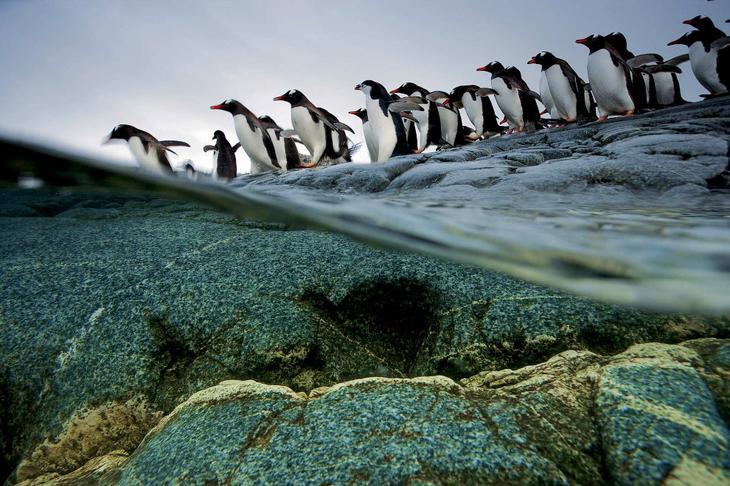 Пингвинья очередь на вход в воду loverme