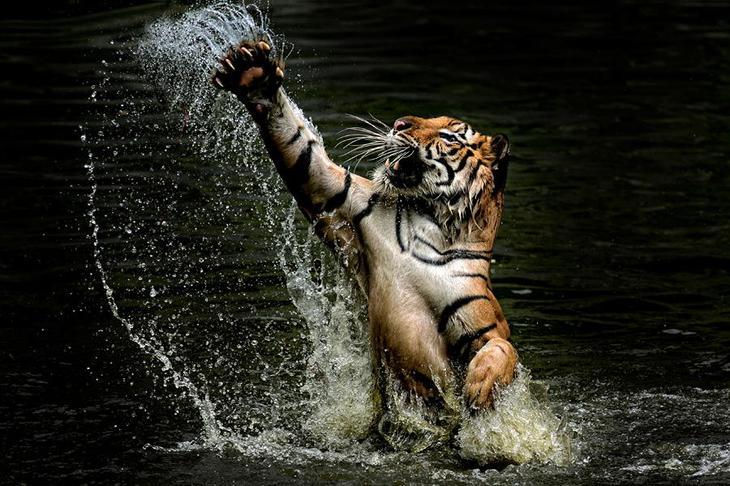 Тигры – дикий животный магнетизм в 30 потрясающих фотографиях 13