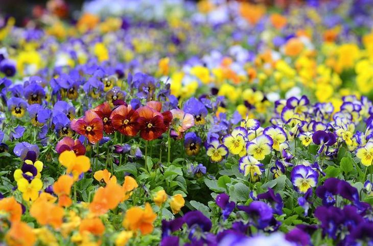 Приметы, связанные с окрасом цветов фиалки