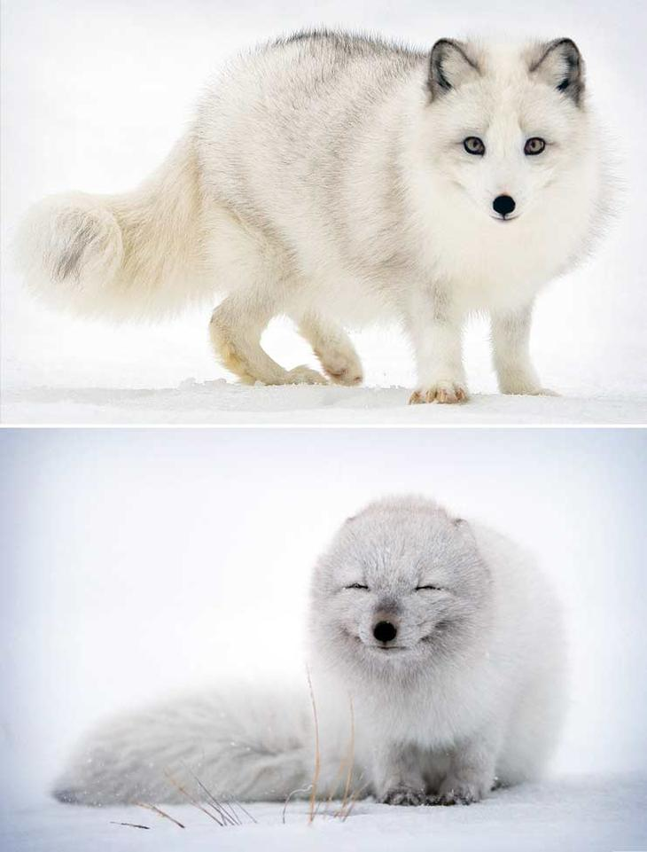 Песец. Красота созданная природой. Самые красивые животные планеты. Фото с сайта NewPix.ru