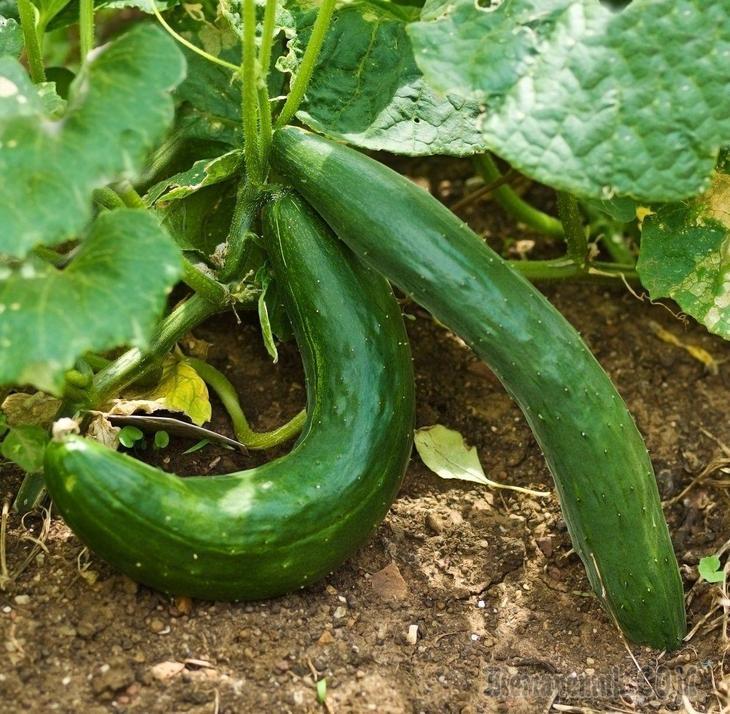 Почему огурцы растут кривыми причины как и чем подкормить