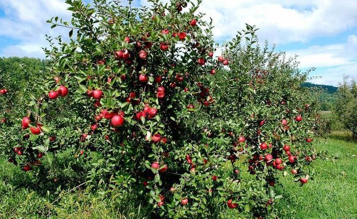 выращивание яблони китайки