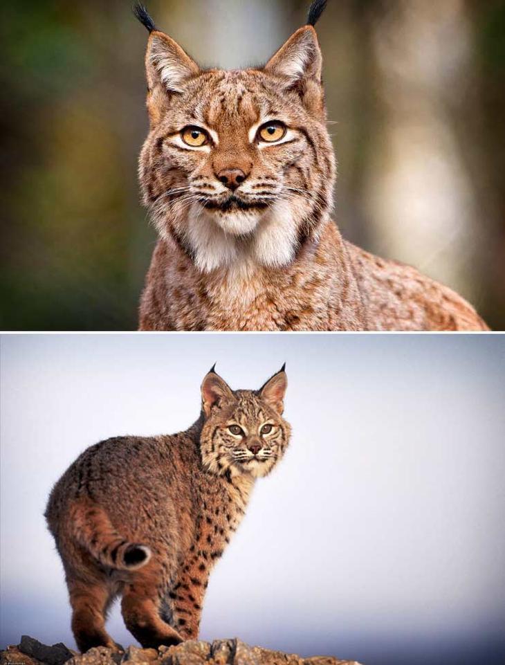 Рысь. Красота созданная природой. Самые красивые животные планеты. Фото с сайта NewPix.ru