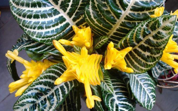 Афеландра желтая