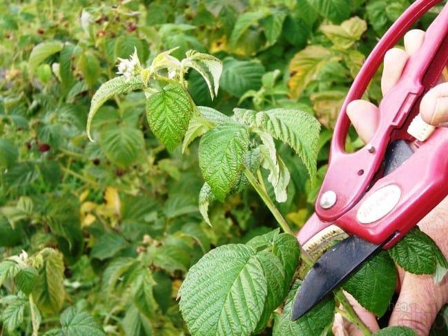 Правильная обрезка малины: все, что должен знать каждый садовод