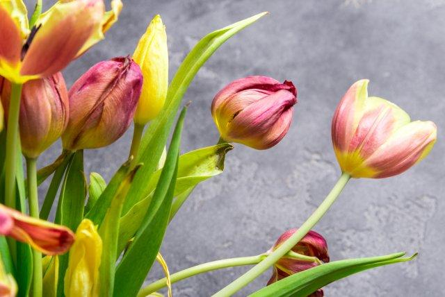 Как нужно ухаживать за тюльпанами после цветения