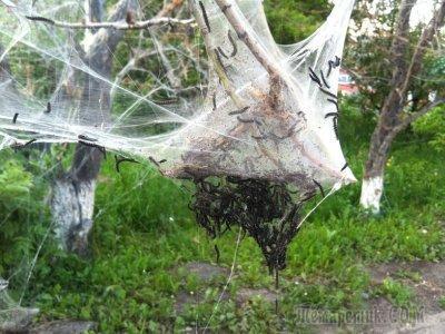 Почему на яблоне появляется паутина и как с этим бороться