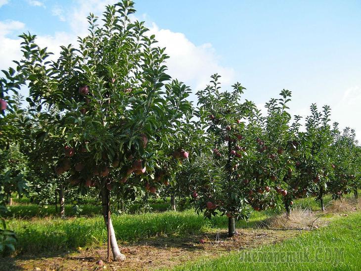 Можно ли посадить абрикос рядом с вишней. Что можно посадить рядом с вишней