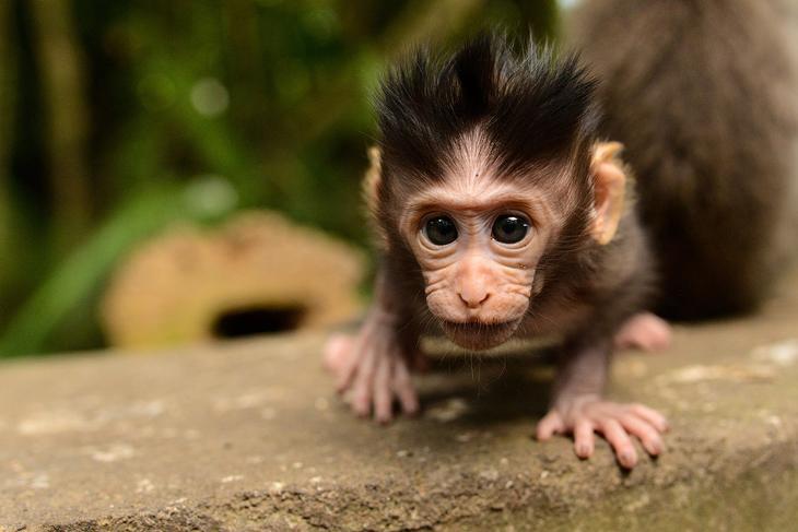 Любопытный макак на Бали
