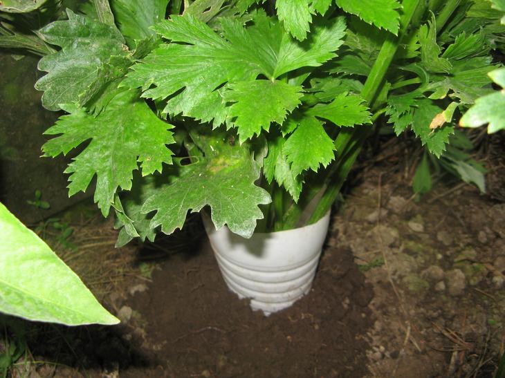 черешковый сельдерей выращивание и уход фото