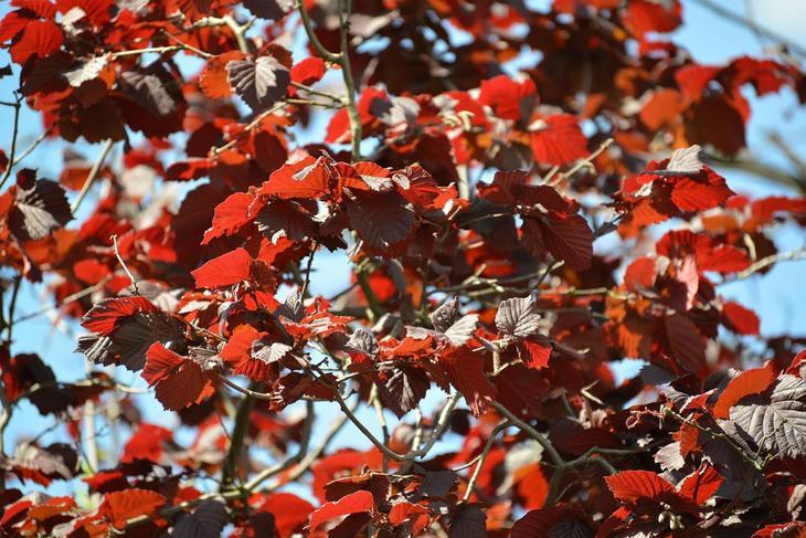 Лещина осенью