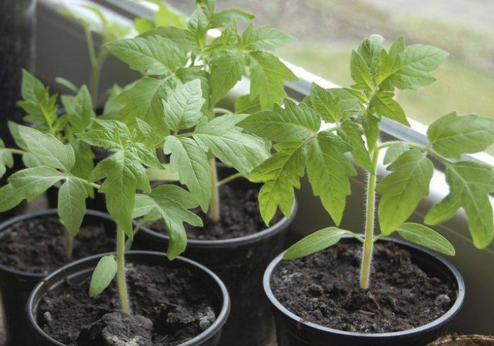 Чем подкормить рассаду помидор чтобы были толстенькие как полить томаты