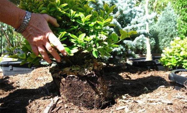 Как вырастить жимолость на даче