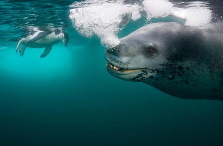 Морской леопард охотится на пингвина loverme