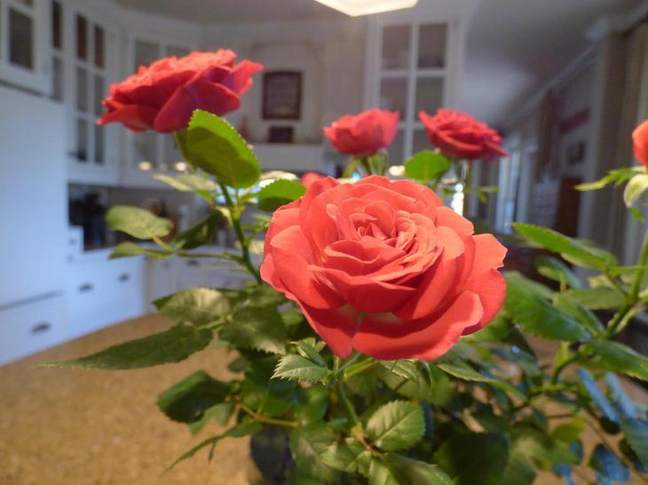 роза горшечная кордана уход в домашних условиях