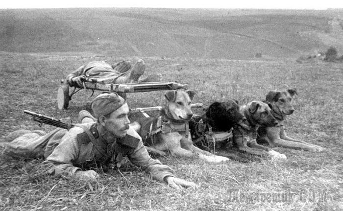 Собаки связисты на войне фото
