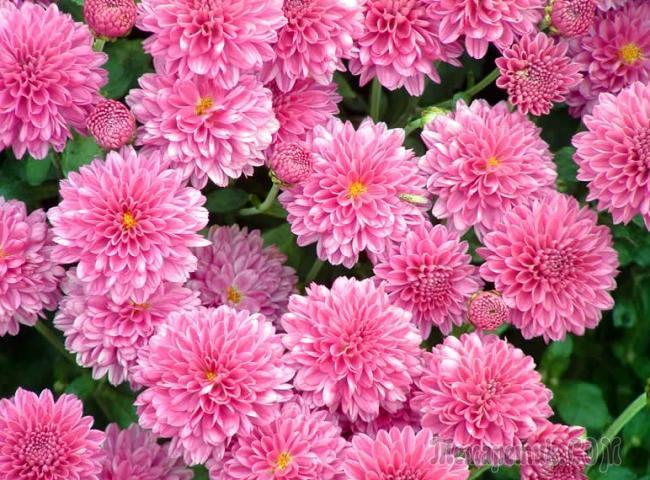 Хранение хризантем зимой. Уход за цветами