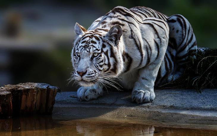 Тигры – дикий животный магнетизм в 30 потрясающих фотографиях 19