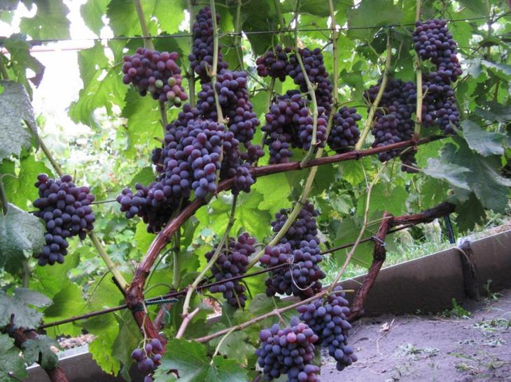 Виноград кишмиш юпитер: описание сорта