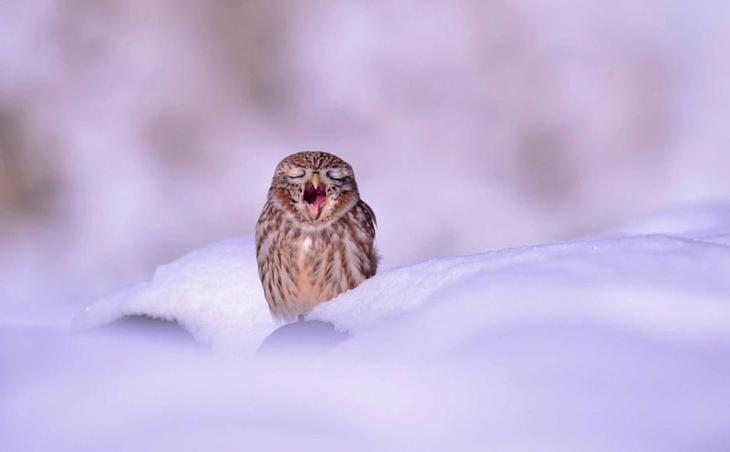 Маленькая сова зевает на снегу. Город Ансон, Южная Корея Забавные фото, животные, мимишность
