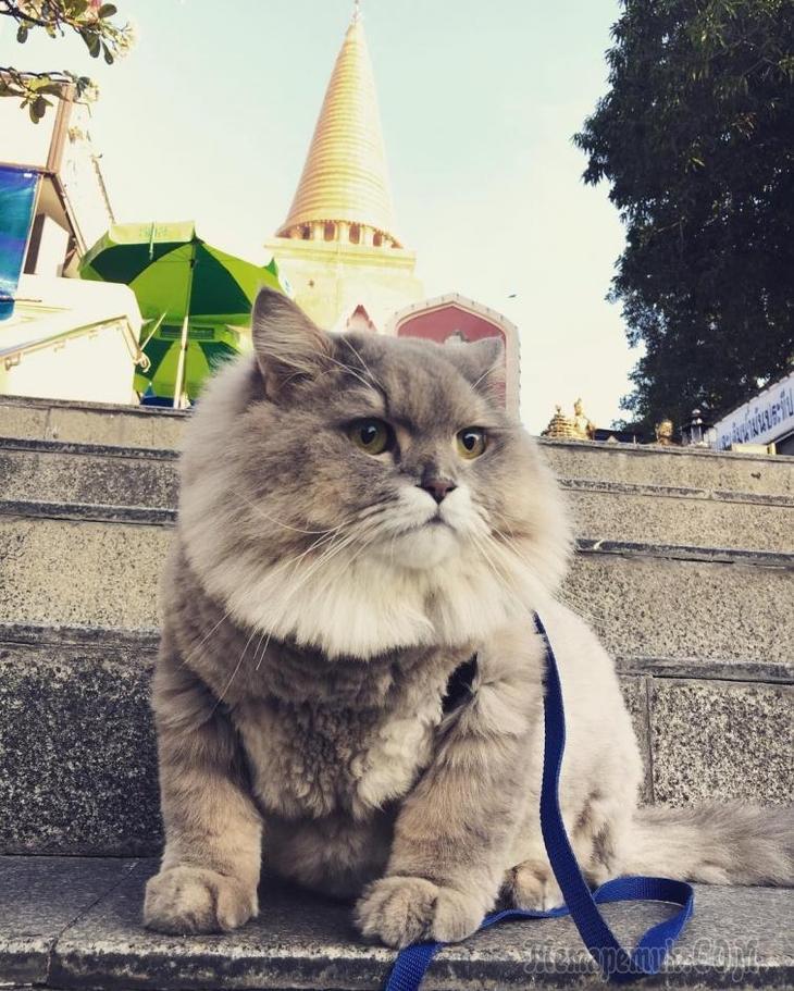 Bone Bone — огромный пушистый кот из Таиланда, покоривший своим нереальным видом
