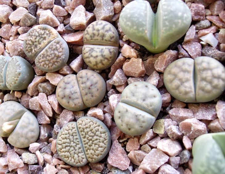 NewPix.ru - «Живые камни» — литопсы, настоящее чудо природы