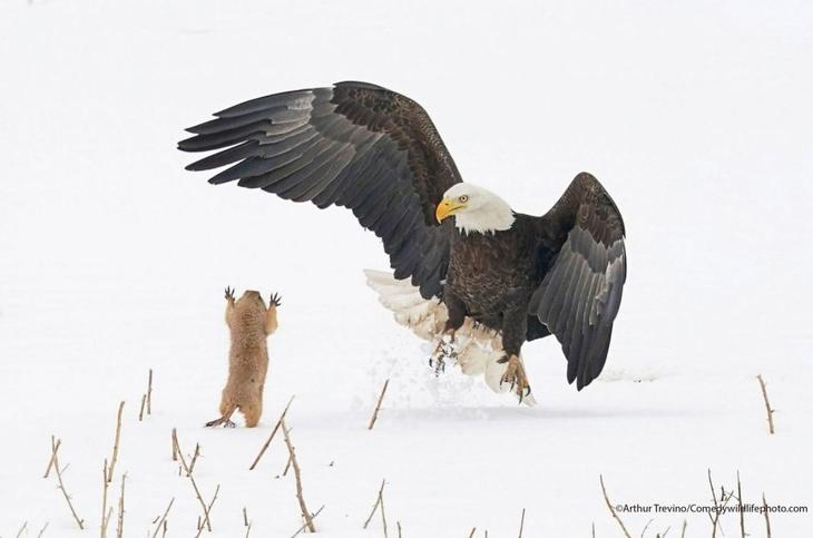 Орел против луговой собачки