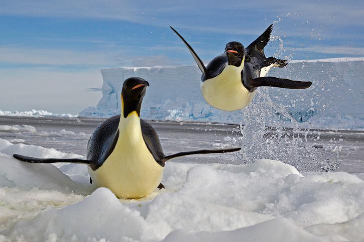 Пингвин выпрыгивает из воды на льдину loverme