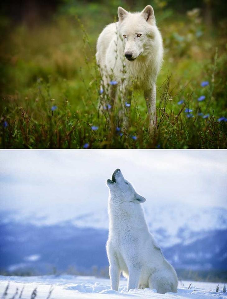 Полярный волк. Красота созданная природой. Самые красивые животные планеты. Фото с сайта NewPix.ru