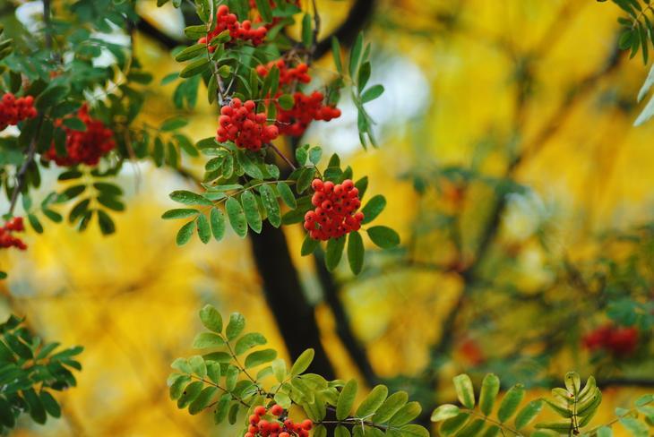 Свойства дерева РЯБИНА. Целебная сила дерева. Как деревья нас лечат. Фото с сайта NewPix.ru