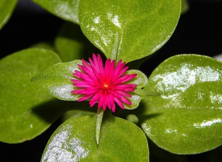 Увлажнение цветка аптения