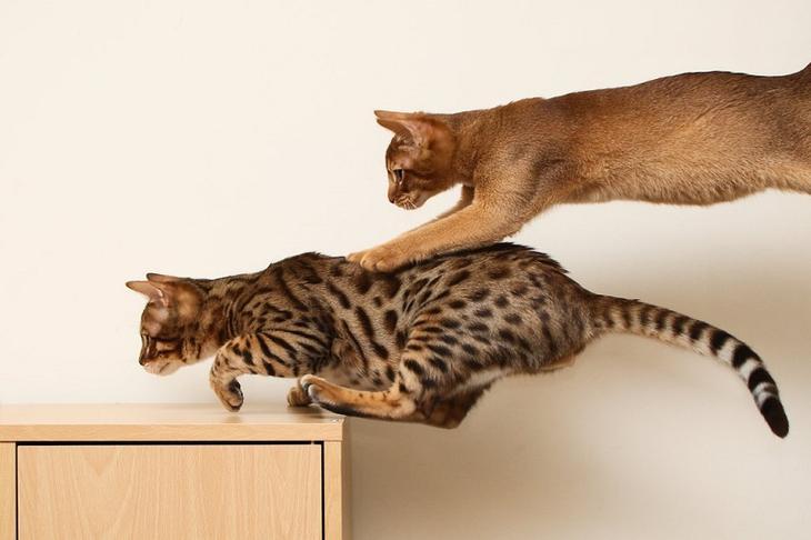 Абиссинская кошка. Фото