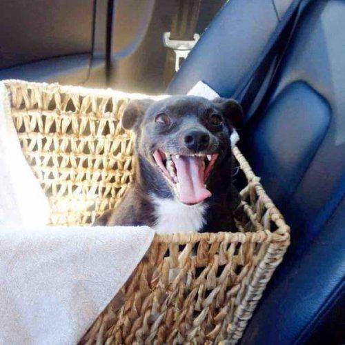 13 счастливых собачьих мордах, которые поняли, что их наконец-то забрали из приюта и везут домой
