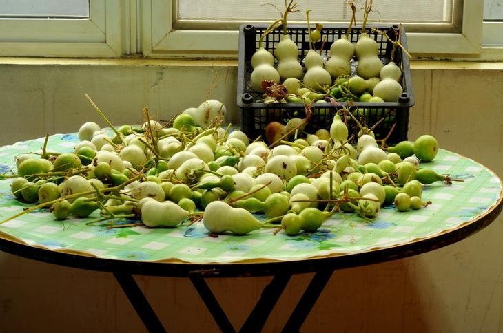 Тыква лагенария: выращивание и применение