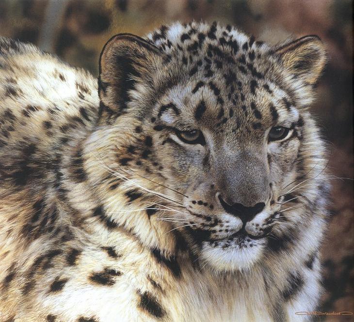 kb Brenders-Snow Leopard Portrait. Карл Brenders
