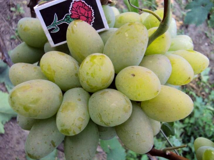 Сорт винограда Белый КоКл