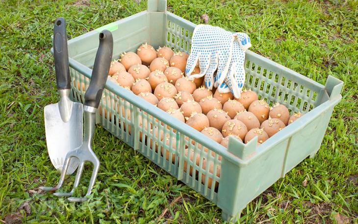 Обрабатываем картофель от проволочника и колорадского жука
