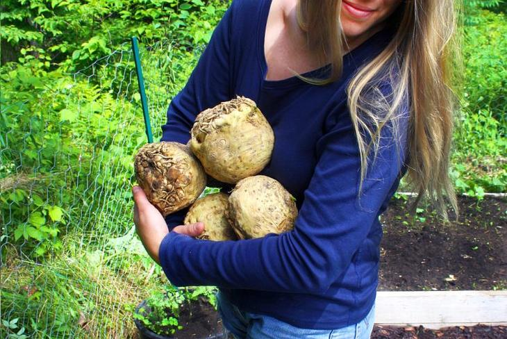Как правильно вырастить сельдерей: корневой, черешковый, листовой.