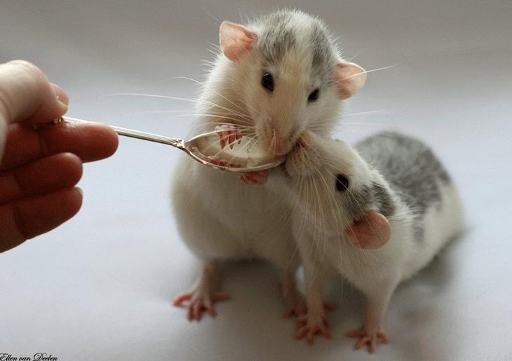 Крысы с ложкой. Эллен ван Дилен. Фото